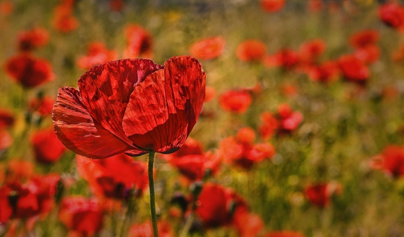 POPPIES ON A LIGHTBOX, POPPIES IN A FIELD 2 by Rodger Holden