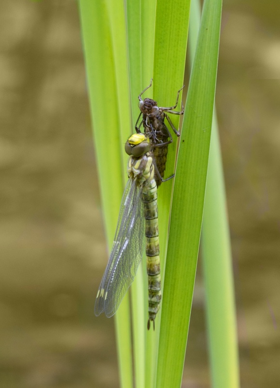 EMERGED MIGRANT HAWKERS No 1 by Terry Walker