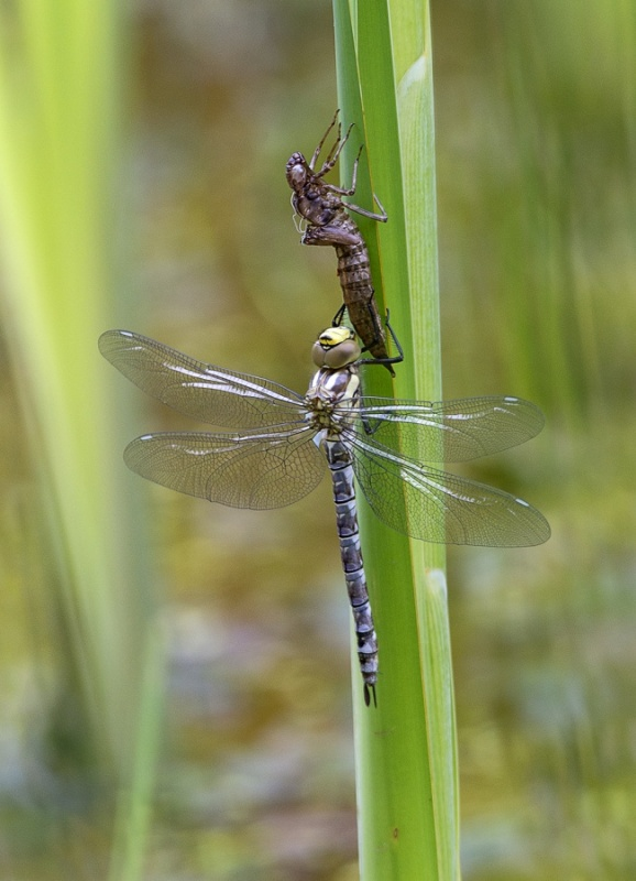 EMERGED MIGRANT HAWKERS No2  by Terry Walker