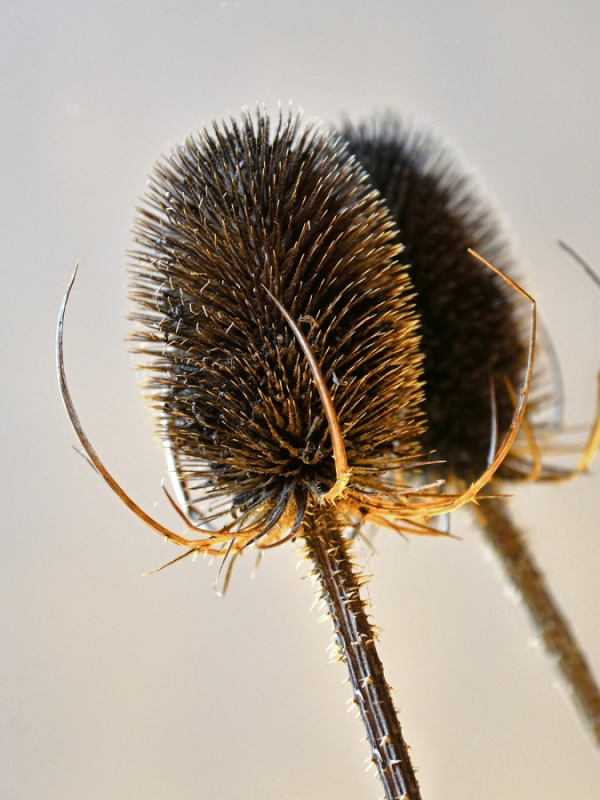 3 THE TEASEL YEAR  DRIED REFLECTION by Desi Lander