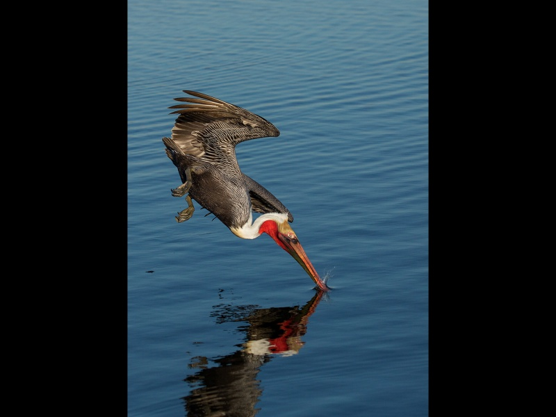 BROWN PELICAN DIVING by Malcolm Blackburn