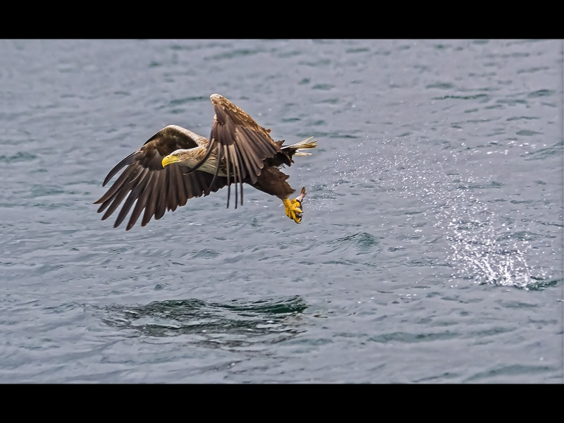 SEA EAGLE WITH CATCH by Keith Gordon