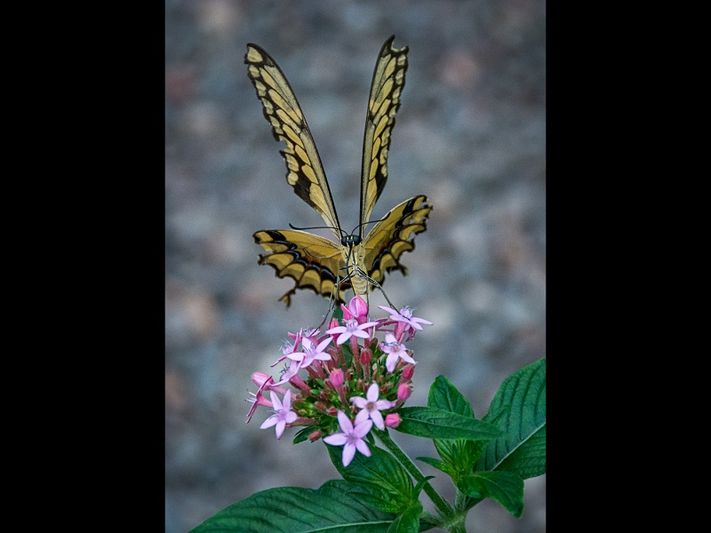 GIANT SWALLOWTAIL FEEDING by DICK BATEMAN