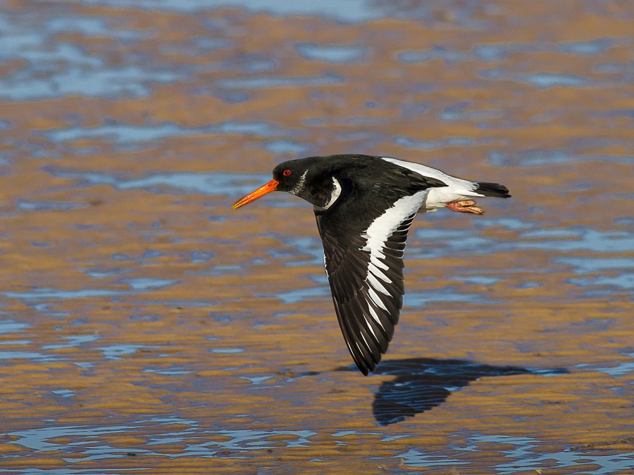 OYSTERCATCHER SKIMMING THE BEACH by Ken Lomas
