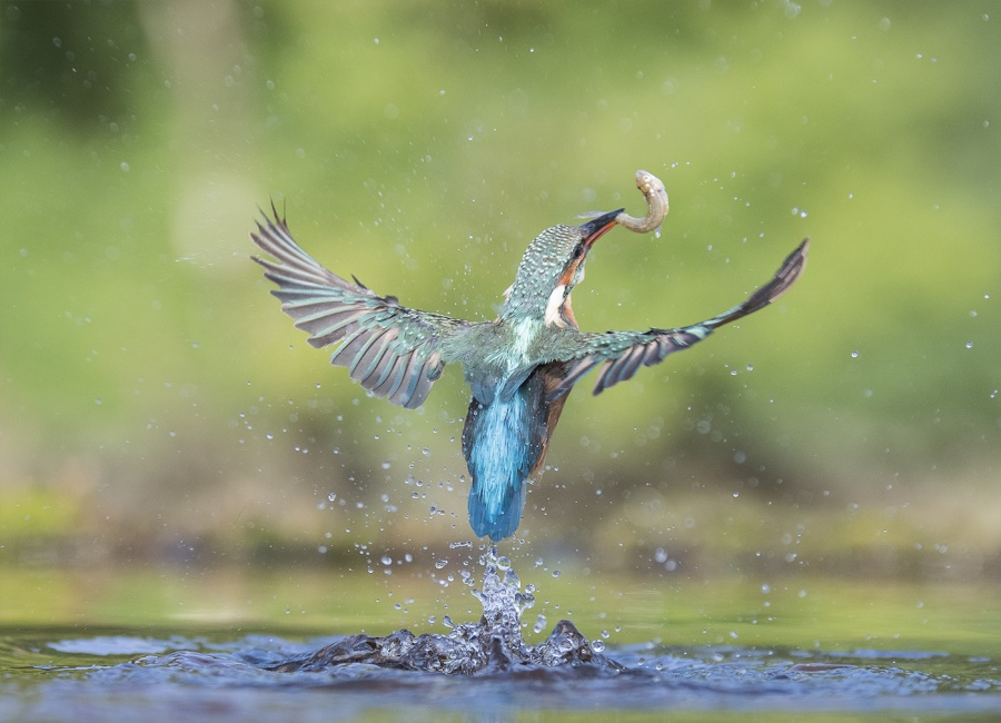 KINGFISHER WITH CATCH by Charlotte Nuttall