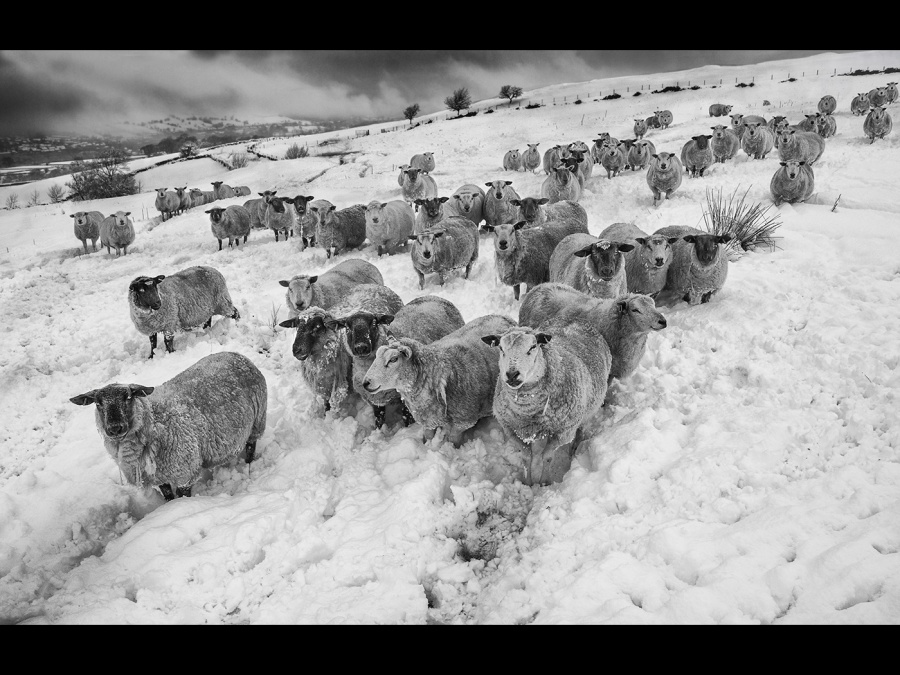 HUNGRY SHEEP ON A WINTER'S DAY by Helena Jones