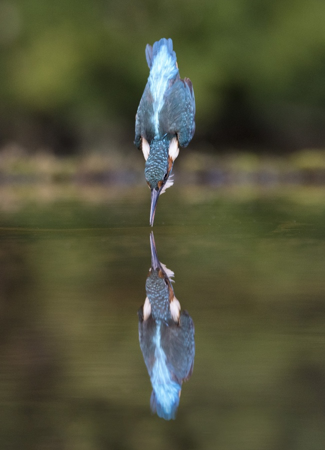 DIVING KINGFISHER (2) by Charlotte Nuttall
