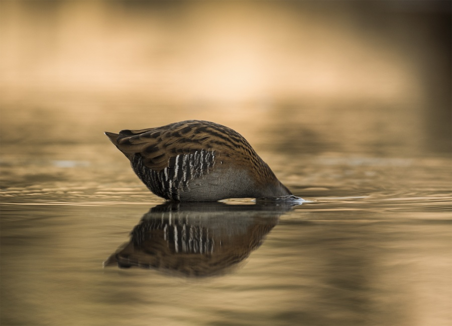 WATER RAILS AT SUN RISE (1) by Charlotte Nuttall
