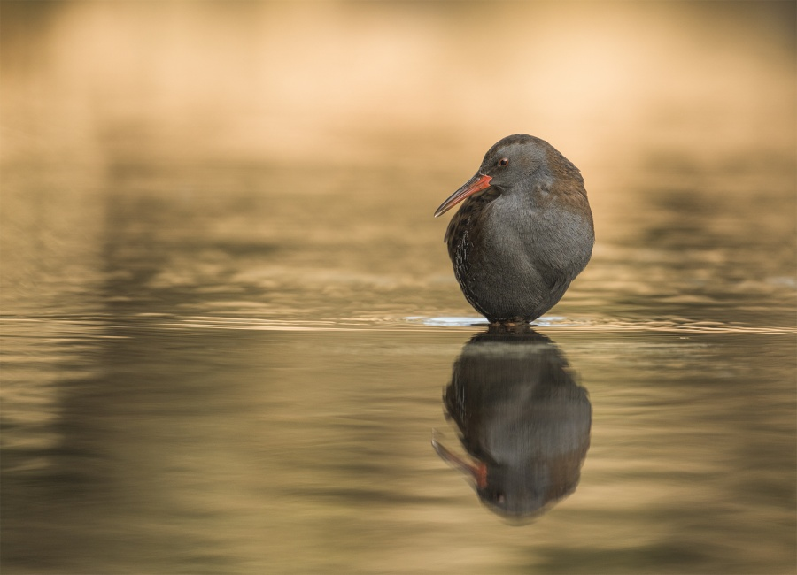 WATER RAILS AT SUN RISE (3) by Charlotte Nuttall