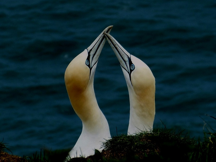 GANNETS 2 by peter hill