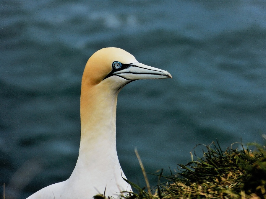 GANNETS 1 by peter hill