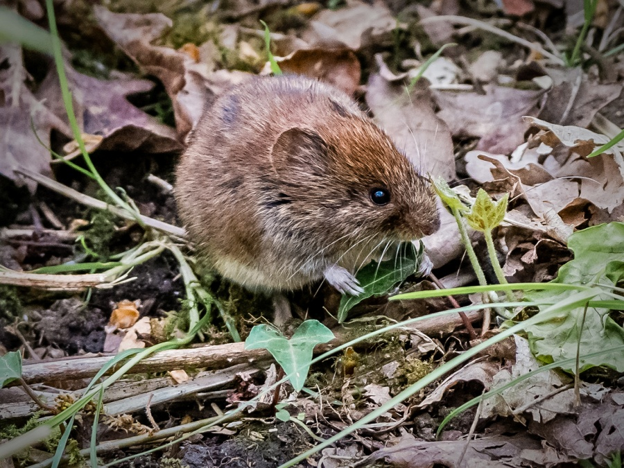 WOOD MOUSE IN NATURAL HABITAT by Terry Walker
