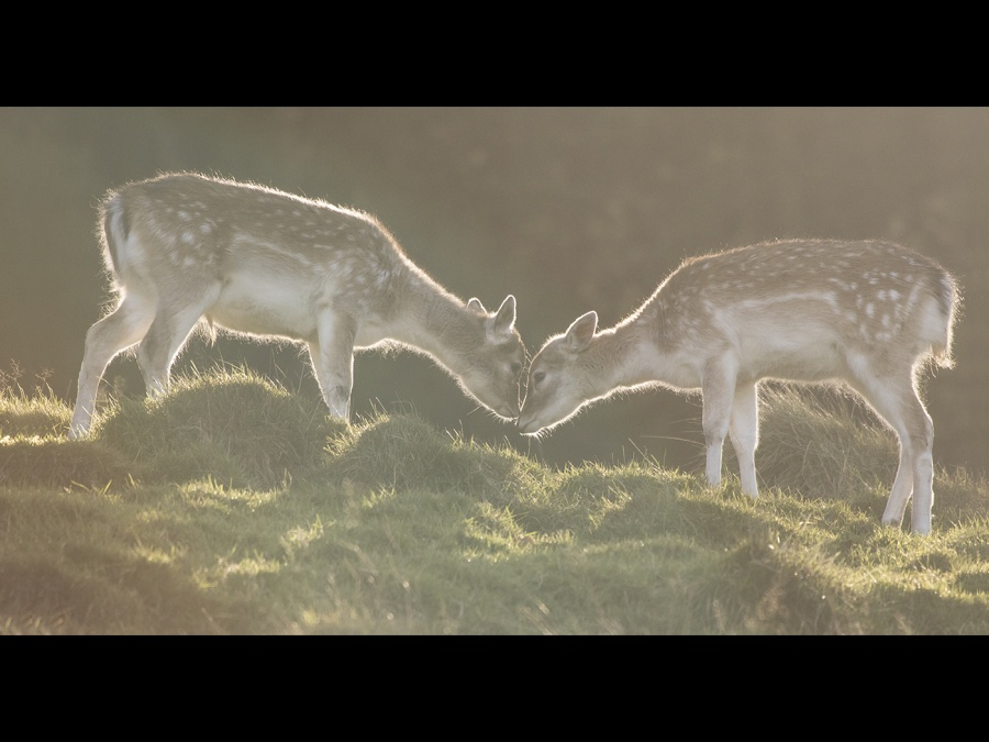 TWO FALLOW DOES  by james chapman