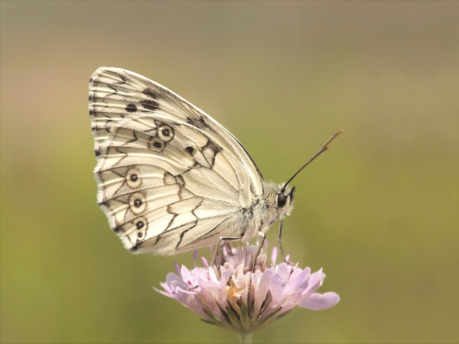 MARBLED WHITE ON SCABIOUS by Tony Pioli.jpg