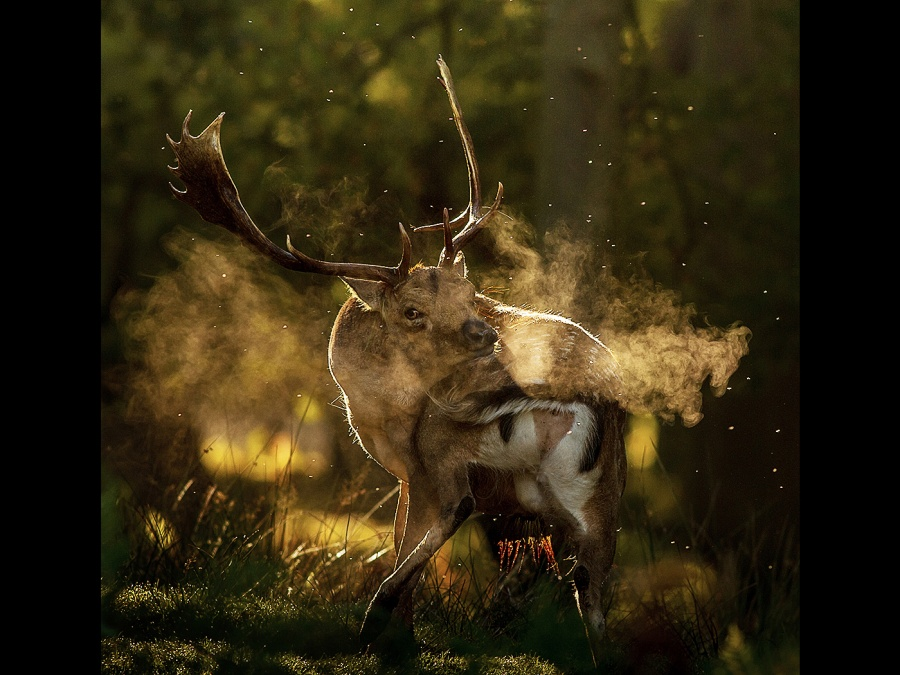 FALLOW DEER REMOVING MIDGES by Ken Lomas