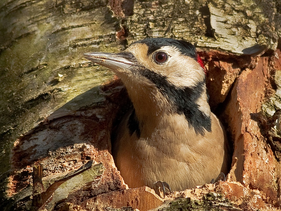 GREAT SPOTTED WOODPECKER AT THE NEST by Ken Lomas