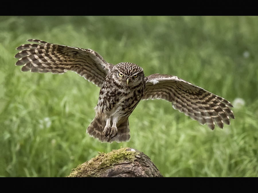 LITTLE OWL COMING INTO LAND by Charlotte Nuttall