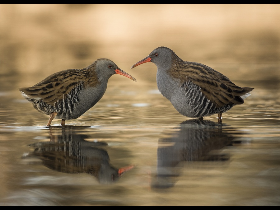 WATER RAILS AT SUN RISE by Charlotte Nuttall