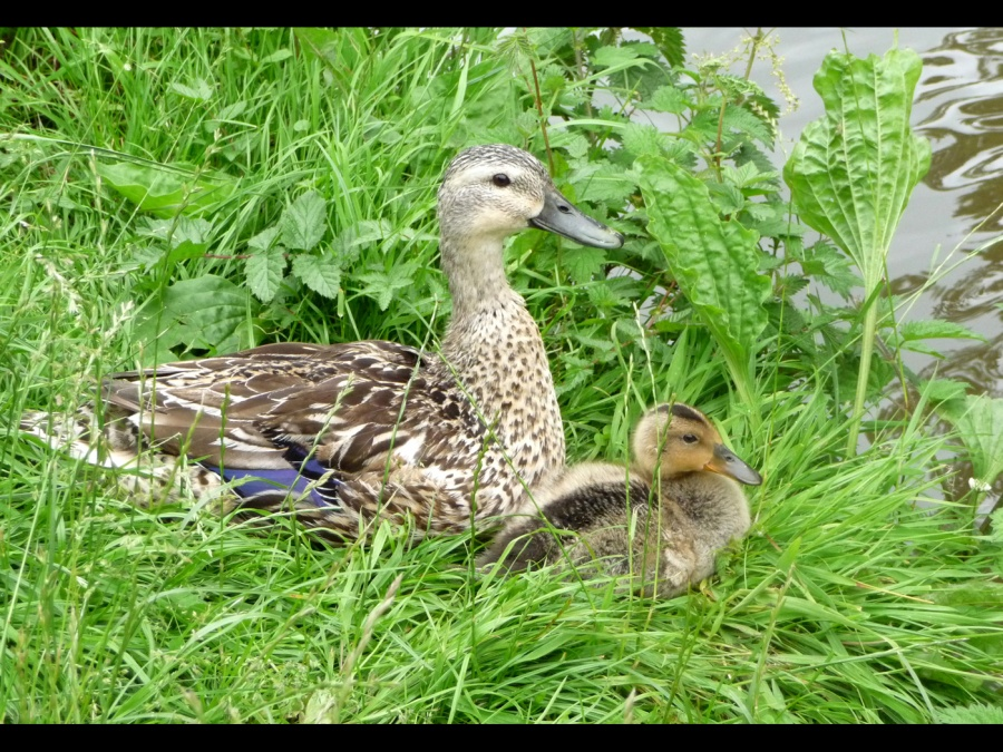 DUCKS AT REST by Hilary Harmer