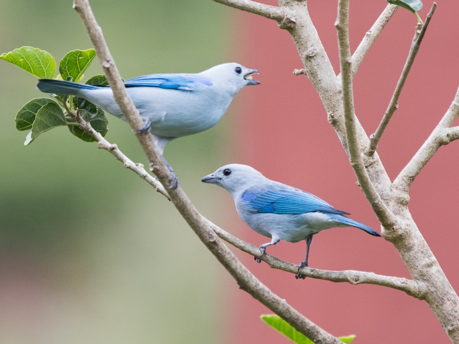 BLUE-GREY TANAGERS  by Dorothy Challand