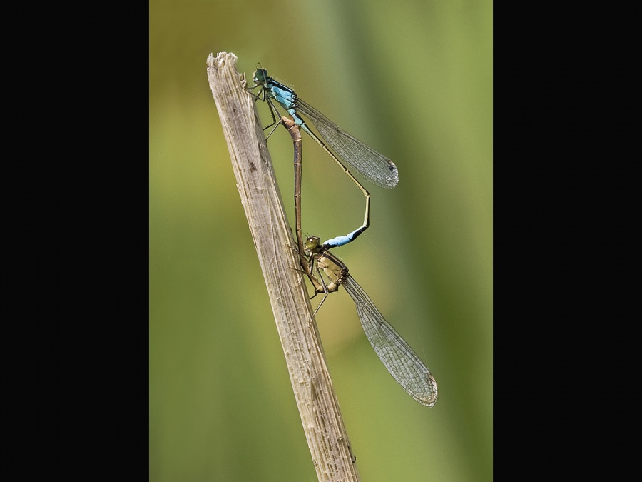 BLUE TAILED DAMSELS MATING by Keith Gordon