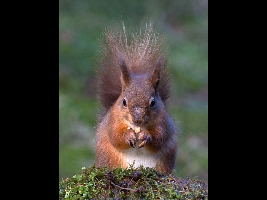 RED SQUIRREL WITH NUT by Malcolm Blackburn