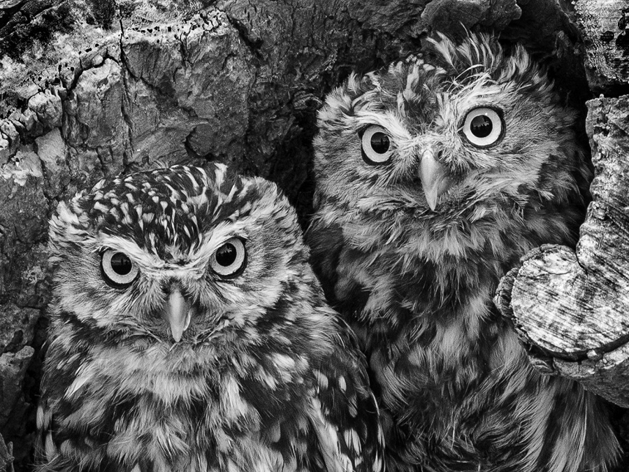 LITTLE OWLS  by Malcolm Blackburn
