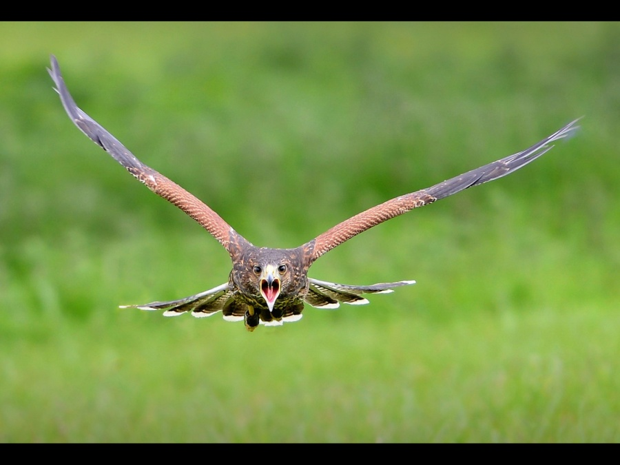 INCOMING HAWK by Dave Upcott