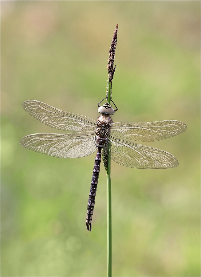 MIGRANT HAWKER ON GRASS STEM by Keith Gordon