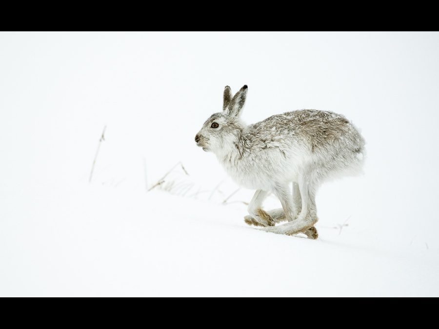 MOUNTAIN HARE ON THE RUN by Cheryl greenwood