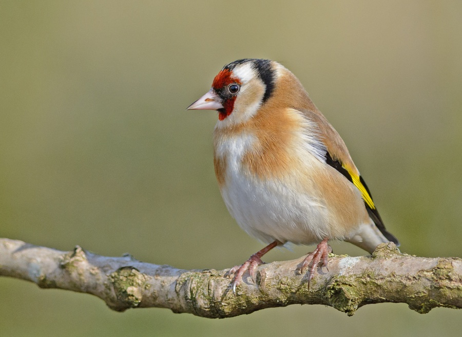 GOLDFINCHES 3 by Chris Evans