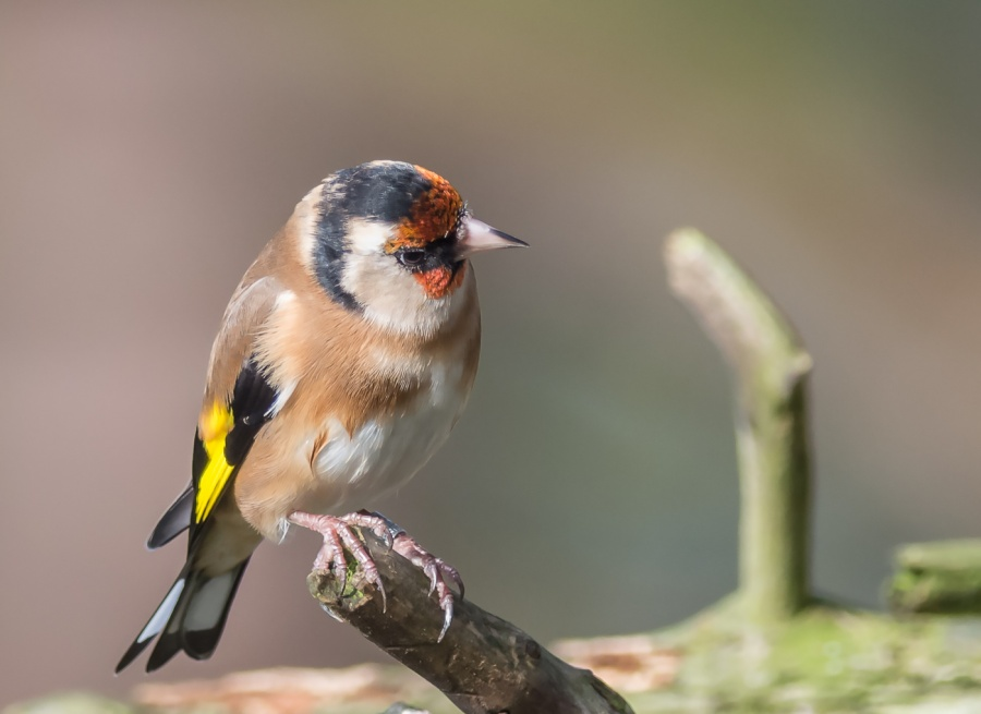 GOLDFINCHES 1 by Chris Evans