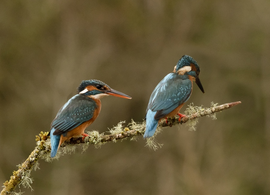 KINGFISHERS FISHING 1 by Charlotte Nuttall