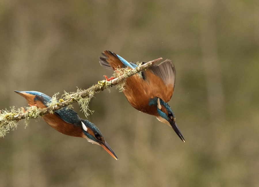 KINGFISHERS FISHING 2 by Charlotte Nuttall