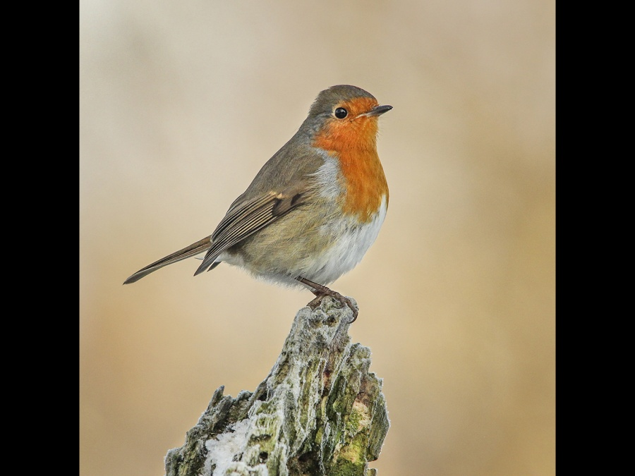 A ROBIN IN THE FROST  by andrew chapman