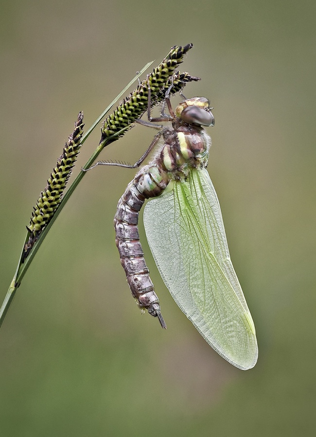MIGRANT HAWKER IN METAMORPHIS by Keith Gordon