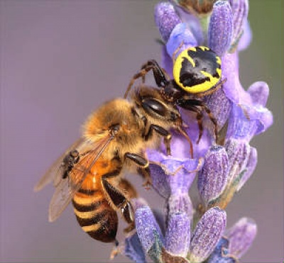 Crab Spider with Honey Bee